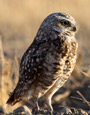 Burrowing Owl resources and Facts