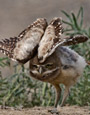 How to Help Burrowing Owls