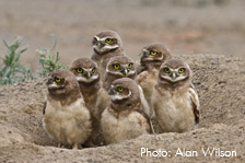 Alan Wilson owl family