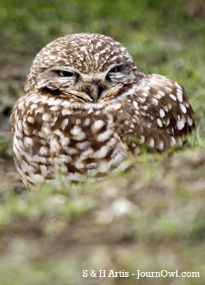 Burrowing owl sighting - Western burrowing owl