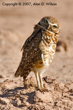 Burrowing Owls - Wilson 2007