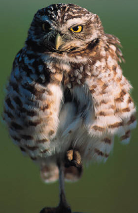 Burrowing Owl Conservation Network - Western burrowing owls