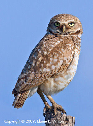 Burrowing owl sounds - Western Burrowing Owl